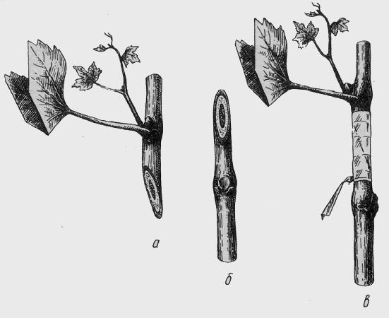 Выращивание яблони черенками 14